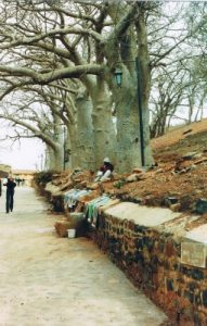The BAOBAB Tree - The National Tree of Senegal and the oldest  tree in the world