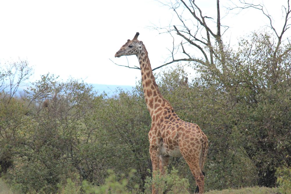 Maasai Mara KENYA (12)