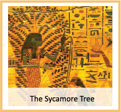 thumb-Sycamore-Tree